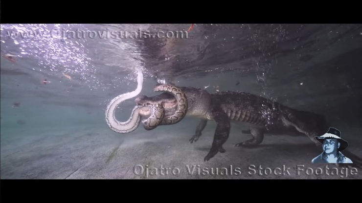 Видео Питон атакует аллигатора под водой