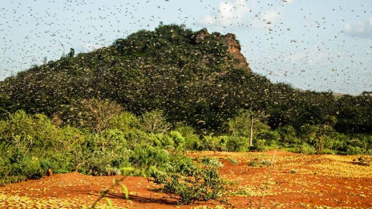 Хуже пандемии в Африке крупнейшее за 70 лет нашествие пустынной саранчи