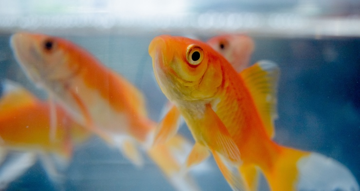 Правда ли, что у рыб короткая память