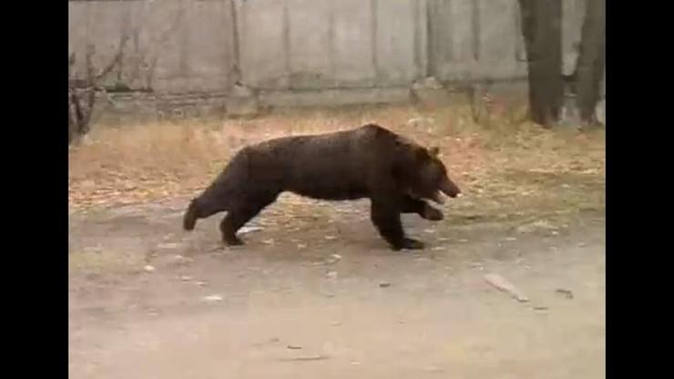 Видео Почему бесполезно пытаться убежать от медведя
