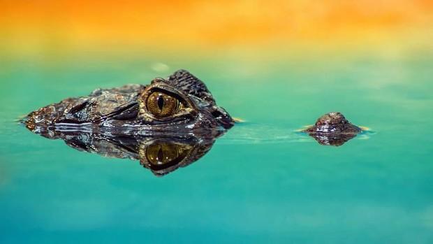 5 трогательных фактов про крокодилов