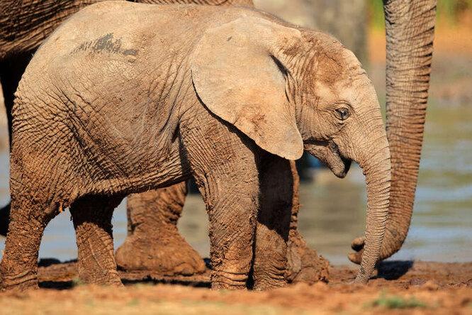 Исследование в жаркий день слоны теряют столько воды, что можно наполнить две ванны