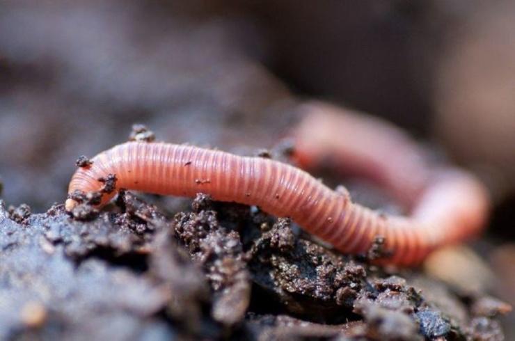 Интересные факты о земляных червях