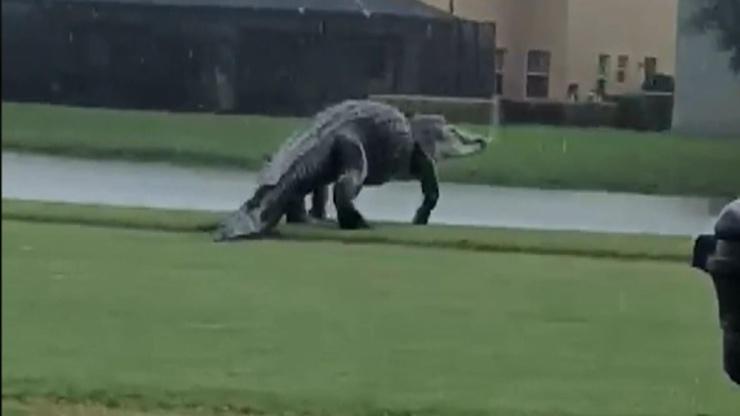 Это динозавр!. Во Флориде засняли огромного аллигатора (видео)