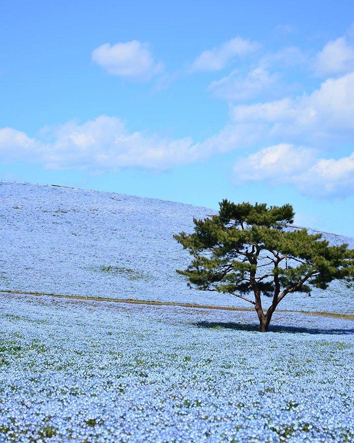 5 миллионов незабудок расцвели в японском парке
