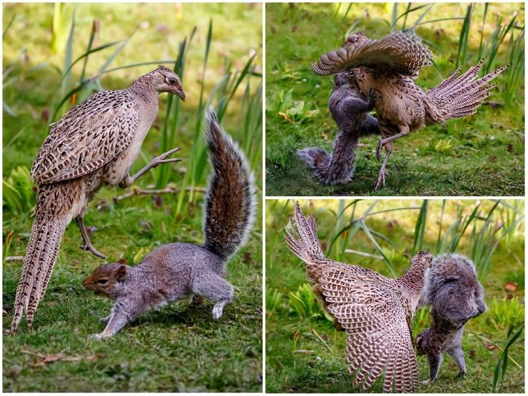Захватывающие кадры драки белки и фазана (6 фото)