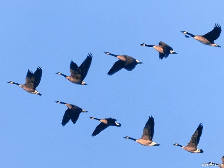 Почему птицы летают клином?  фото  видео