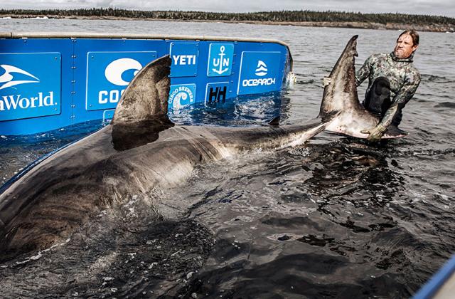 У берегов Канады поймали белую акулу  матриарха океана