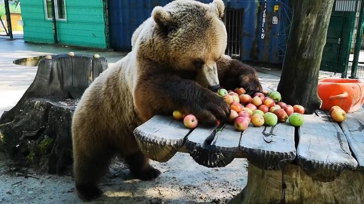 Видео Медведь завтракает яблоками и всем советует так делать
