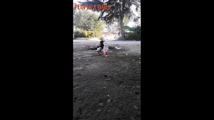 Видео Гениальная сорока придумала, как поднять уровень воды в бутылке и попить