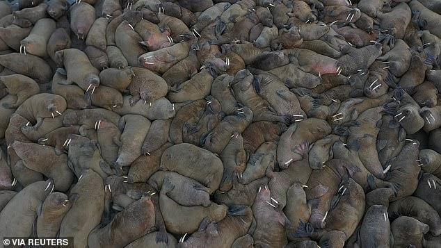 Ученые нашли на Ямале крупнейшее в мире лежбище моржей