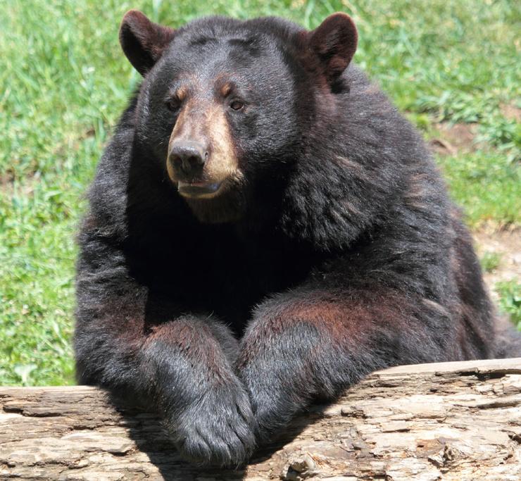 Биологи измерили пульс медведей в спячке и оказалось, что он почти отсутствует