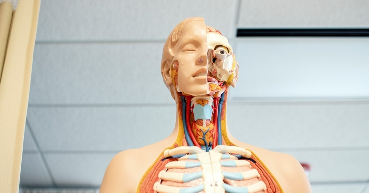 Сколько всего органов в человеческом теле