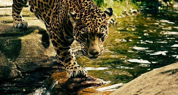 В Китае выпустили 100 кур, чтобы приманить сбежавшего леопарда
