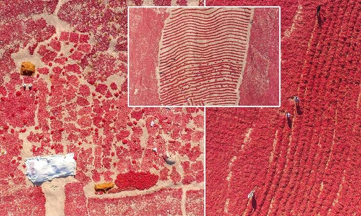 Впечатляющие кадры поля перца чили в Китае (8 фото)