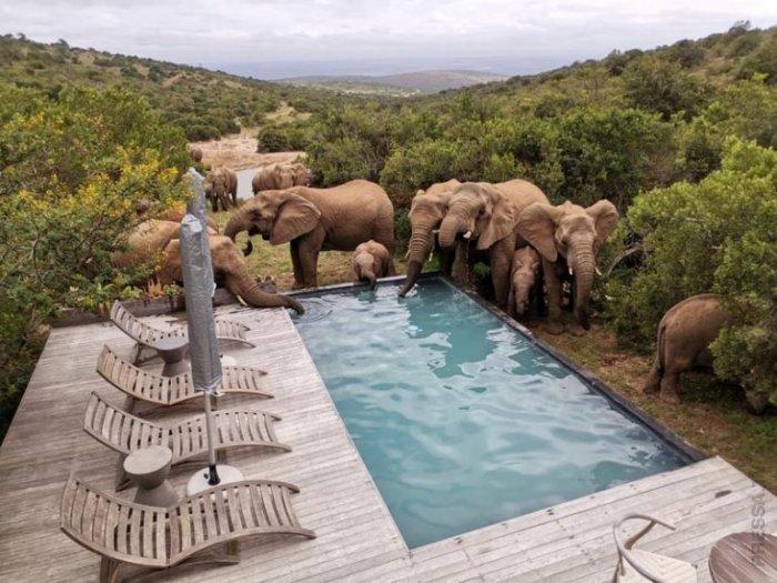 Дикие слоны приходят к бассейну, когда им жарко  фото  видео
