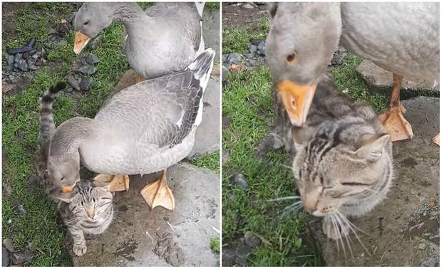 Гуси щиплют терпеливого кота (видео)
