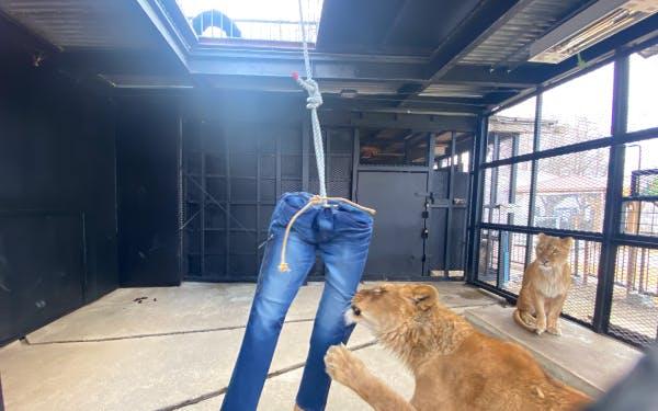 Японский зоопарк продает джинсы, потрепанные львами