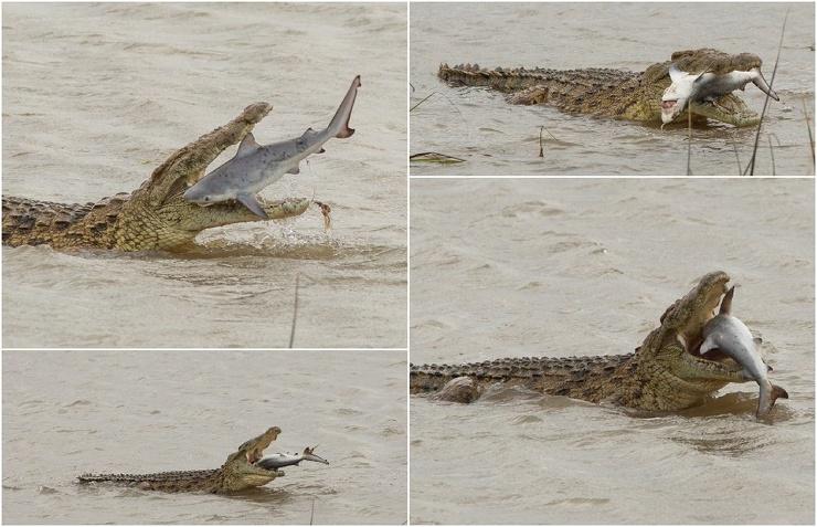 Впечатляющие кадры крокодил проглотил акулу в Австралии (9 фото)