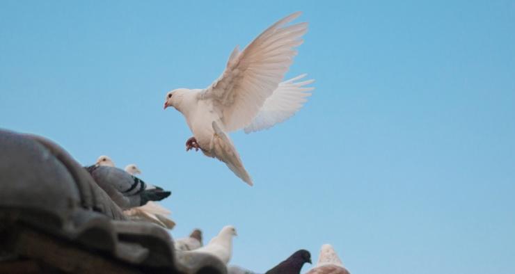 Почему в городах так много голубей