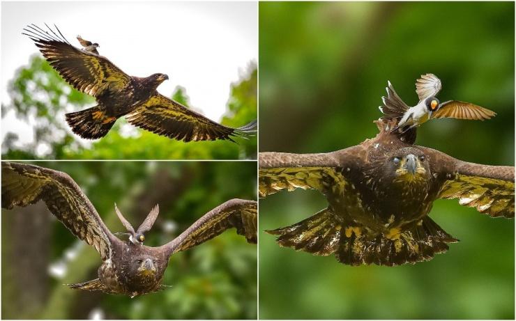 Маленькая птичка напала на крупного орлана, который близко подлетел к ее гнезду