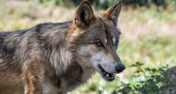 Исследователи выложили видео, снятое камерой с ошейника дикого волка-одиночки