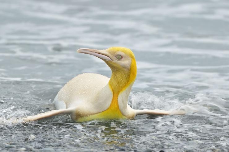 Это надо видеть Первые в истории фотографии желтого пингвина