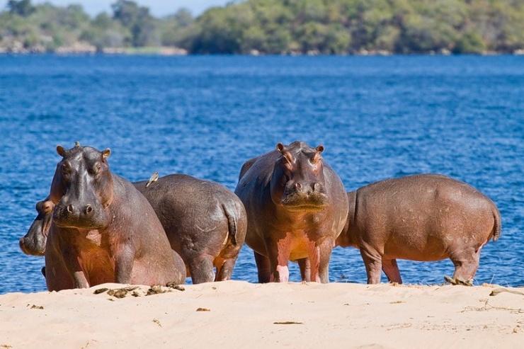 Любопытные факты о бегемотах (11 фото)