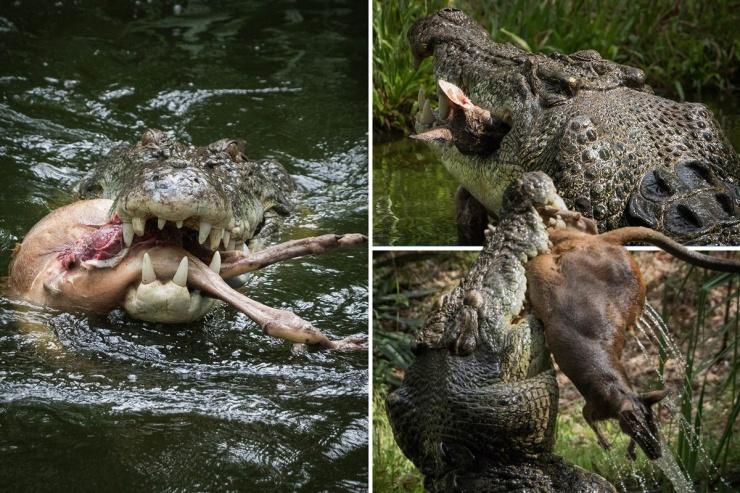 Ужасный момент свирепый крокодил разрывает на части валлаби в зоопарке