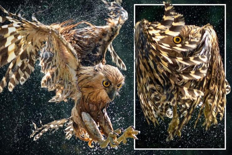 Впечатляющие кадры сова охотится на рыбу в реке