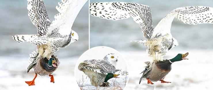Голодная сова напала на утку