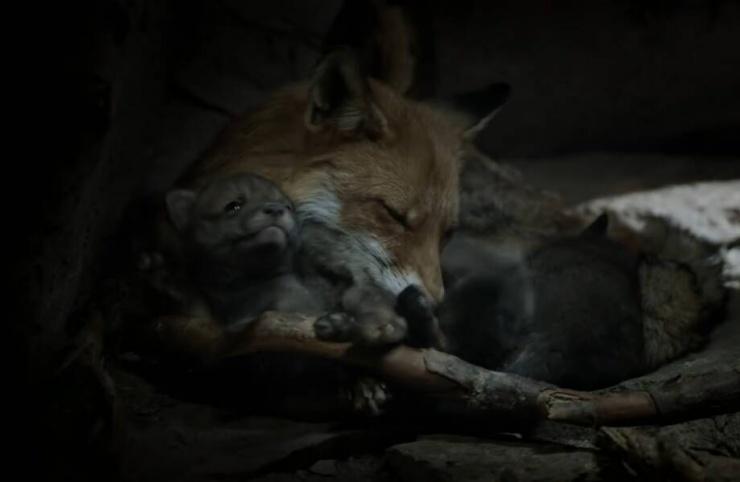 Люди нашли нору в земле, в которой жила лиса с лисятами, и установили там камеру (видео)