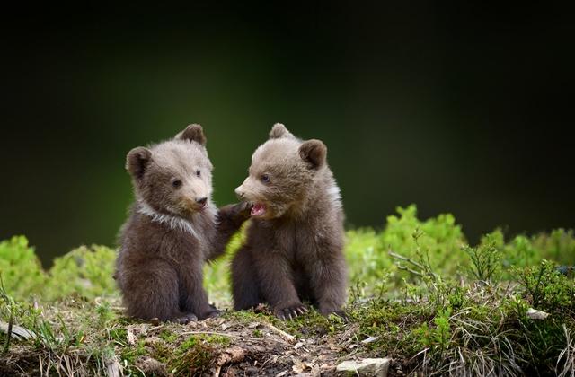 Медвежат-сирот в Приморье спасают правильным питанием и массажем живота