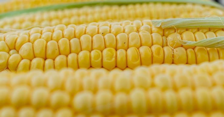 Что полезного в кукурузе, если учитывать, что она не усваивается организмом?