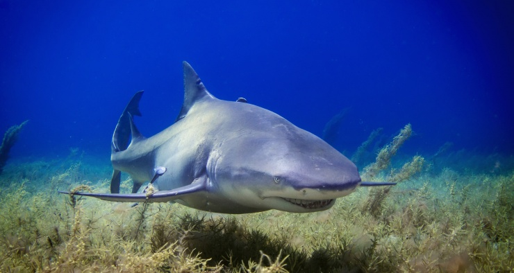 Правда ли, что акула может учуять кровь за несколько километров