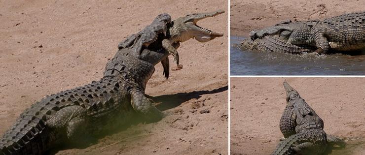 Жуткие кадры крокодил-каннибал сожрал молодого сородича