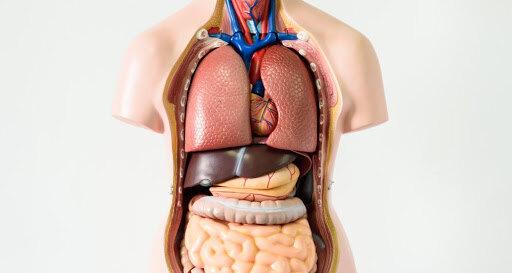 Что находится между органами