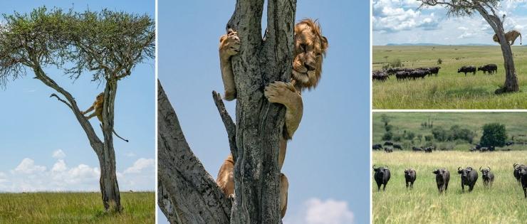 Неудачная охота льву пришлось укрыться от буйволов на дереве