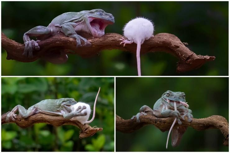 Жуткие кадры лягушка проглотила мышь