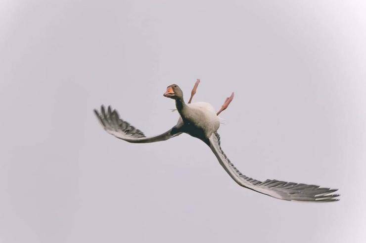 Зачем гуси летают вверх ногами?