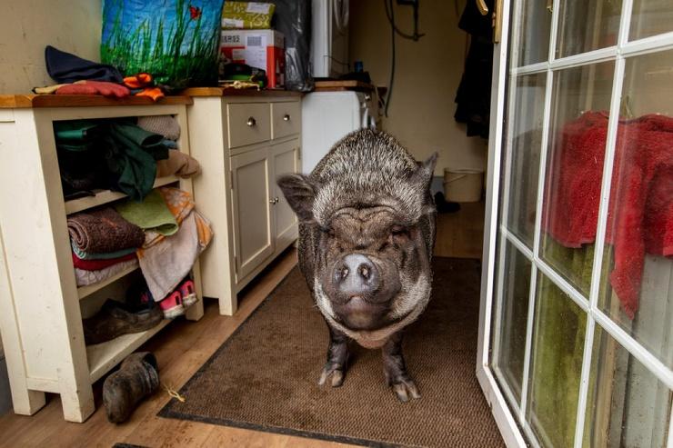 130-килограммовая свинья живет в доме и спит в запасной спальне, так как на улице ей слишком холодно