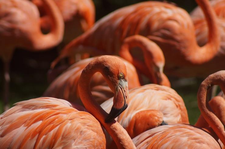 Почему фламинго розового цвета?