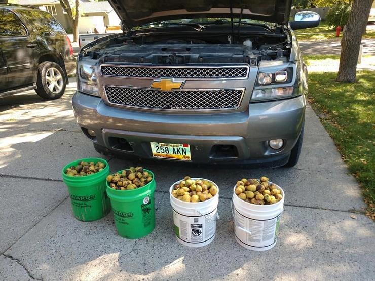 Американец оставил внедорожник под деревом черного ореха и белка заполнила авто его плодами