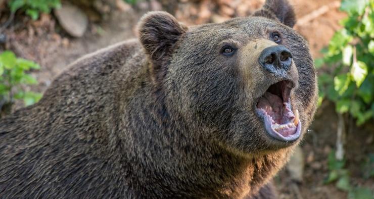 Действительно ли медведи любят мед
