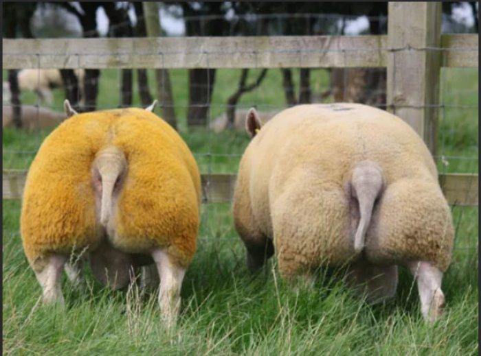 Помесь коровы, собаки и свиньи в теле овцы