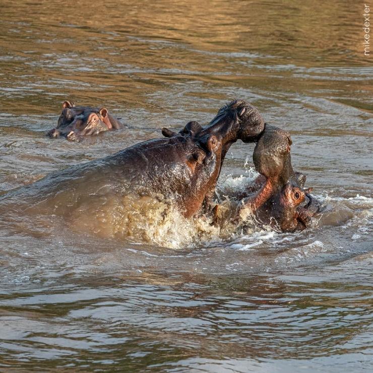 Кровавая битва бегемотов: гиганты рвали друг друга на куски, борясь за превосходство в Кении