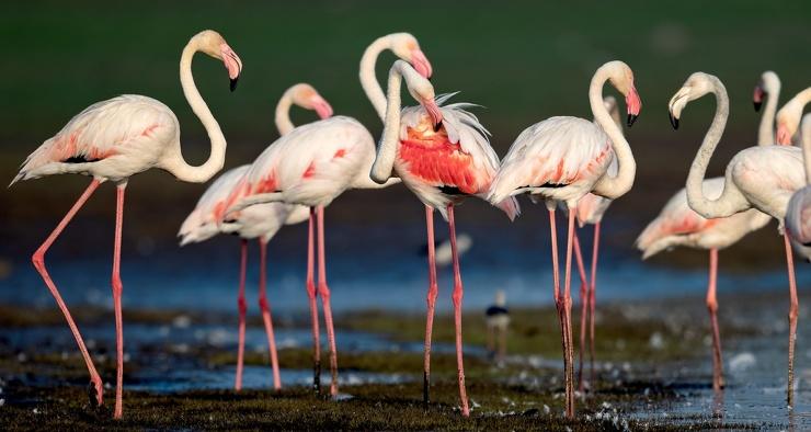 Почему фламинго стоят на одной ноге