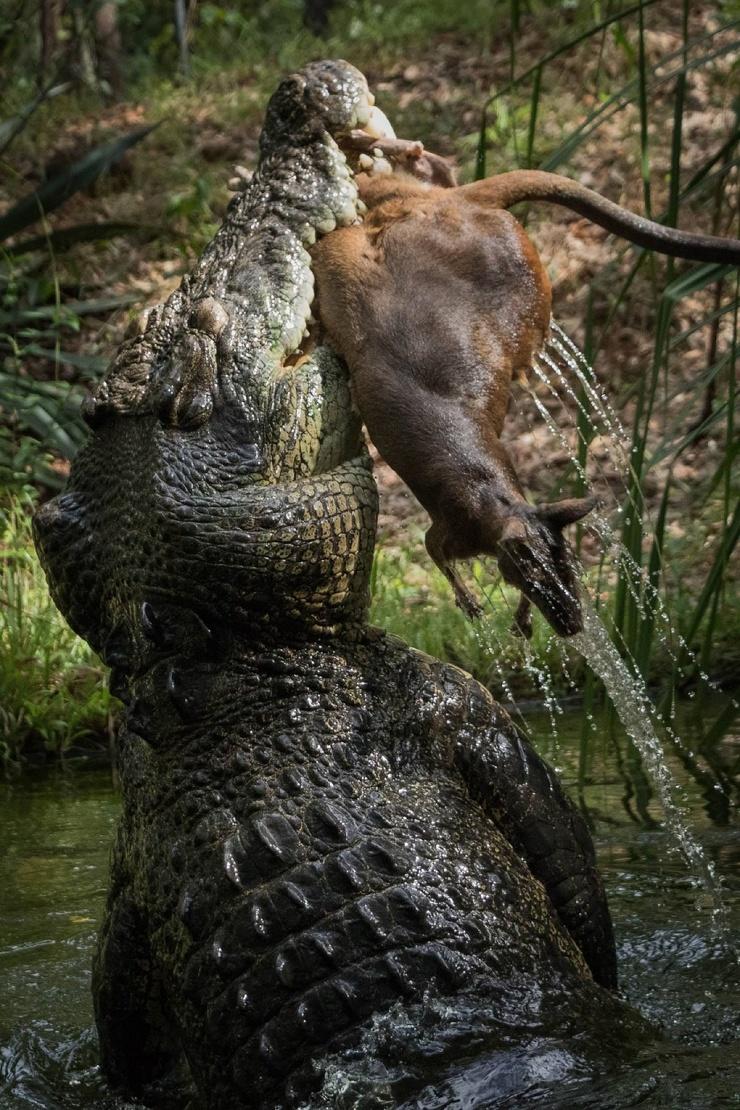 Ужасный момент: свирепый крокодил разрывает на части валлаби в зоопарке