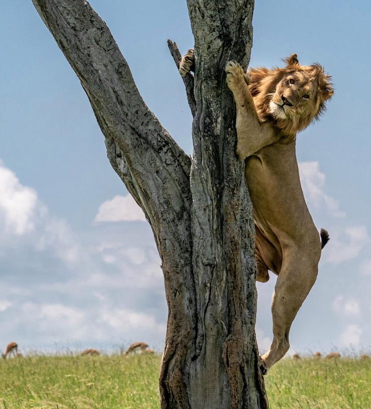 Неудачная охота: льву пришлось укрыться от буйволов на дереве