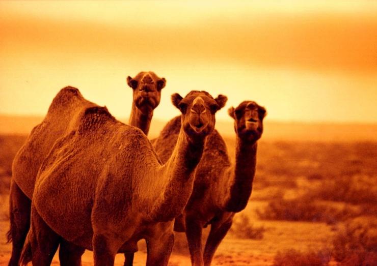 Существуют ли дикие верблюды?